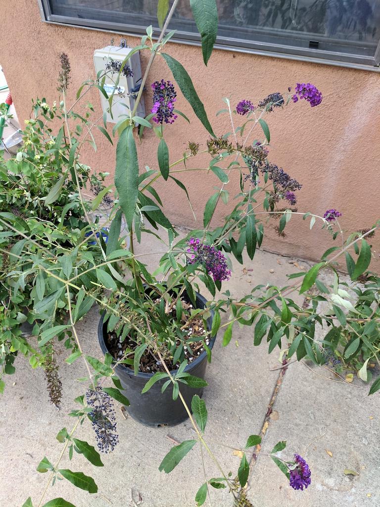 Purple Lilac flowers in jar #8
